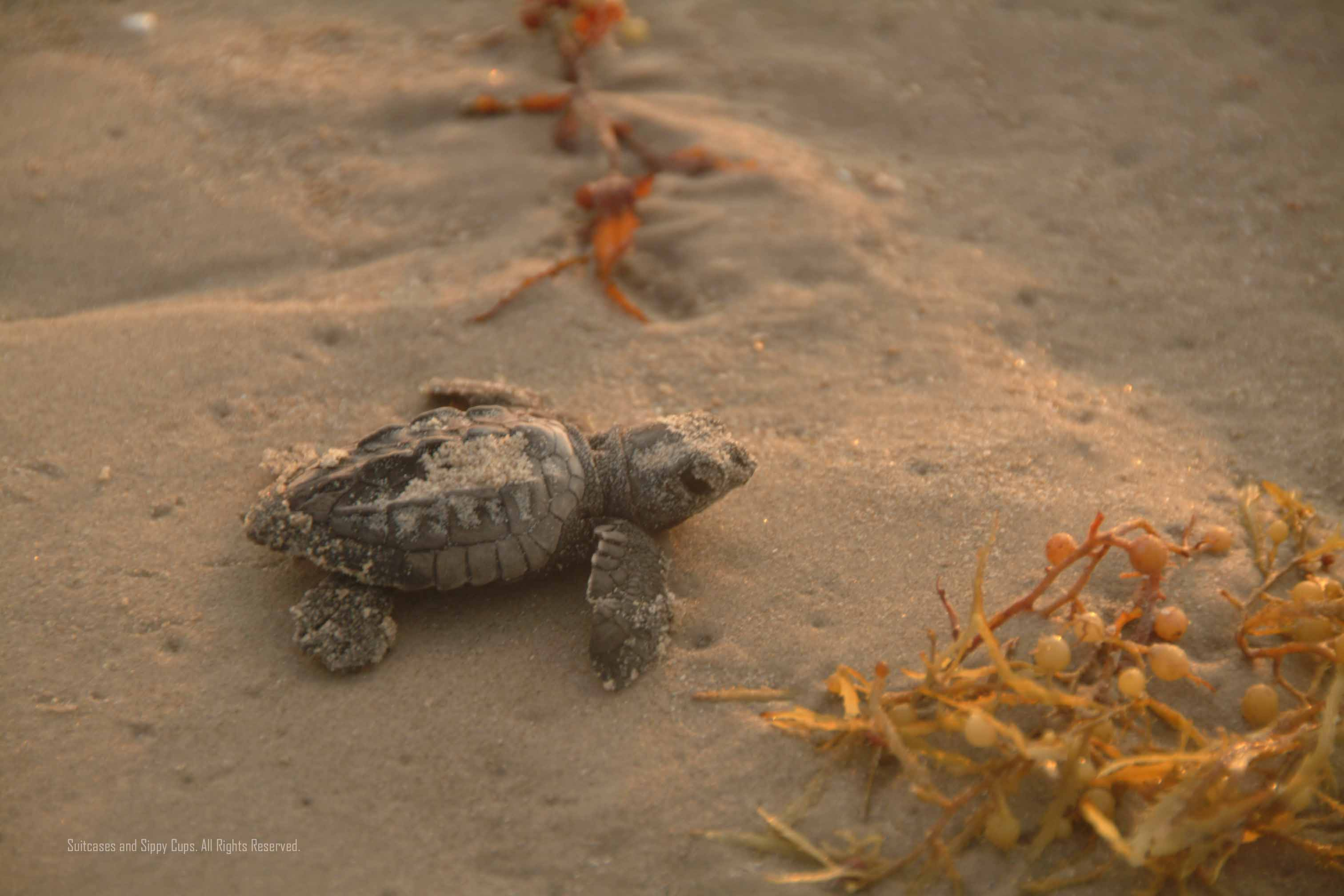 Sea Turtles in Texas Are Two Sea Turtle Release