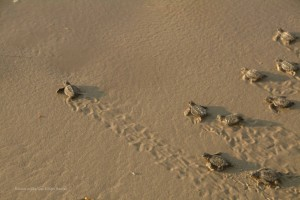 The Inside Scoop on Gulf Coast Sea Turtles Releases