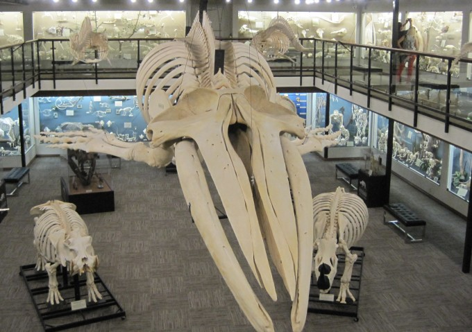 Museum_of_Osteology_exhibits